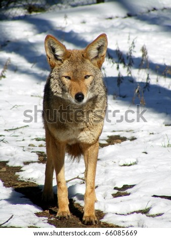 Coyote standing in snow - stock photo