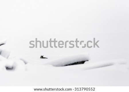 Coyote Taking A Rest in the Snow - stock photo