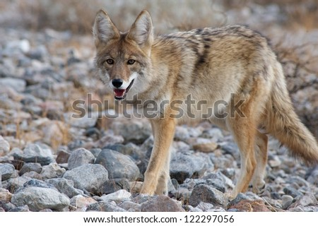 coyote walking - stock photo