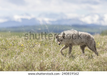 Coyote Walking Through a Field  - stock photo