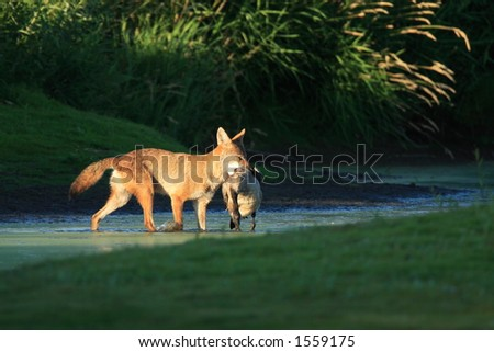 Coyote with Prey - stock photo
