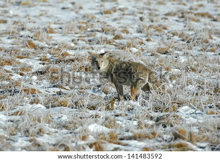 Coyote, Yellowstone National Park, Wyoming, USA - stock photo