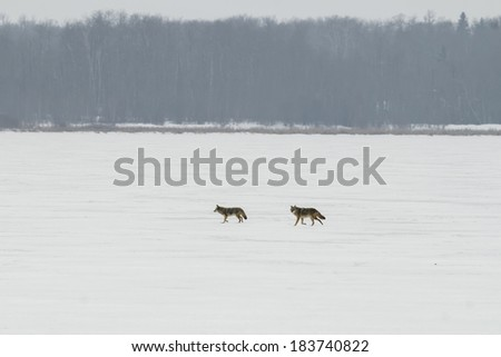 Coyotes crossing a frozen lake, Alberta Canada - stock photo