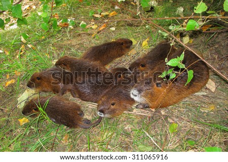 Coypu family with babies resting under tree. - stock photo