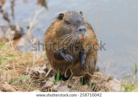 Coypu in detail - stock photo