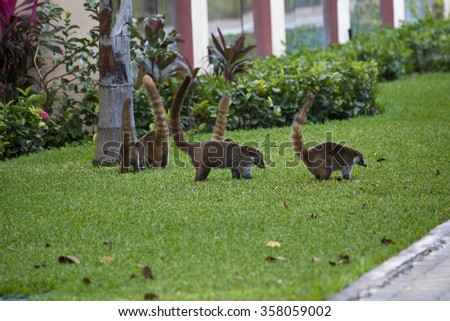 Cozumel raccoons seaking for food at park - stock photo