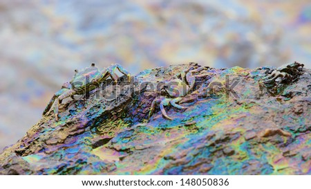 crab and rainbow reflection of crude oil spill on the stone at the beach, focus on large crab on left - stock photo