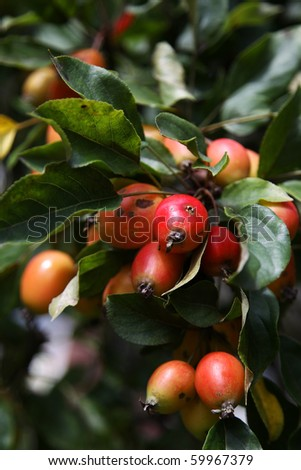 crab apples on a tree in august