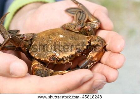 Crab caught in man's hands - stock photo