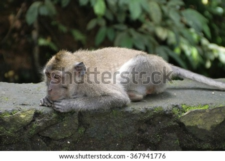 Crab-eating macaque (Macaca fascicularis) crouching on a stone wall
