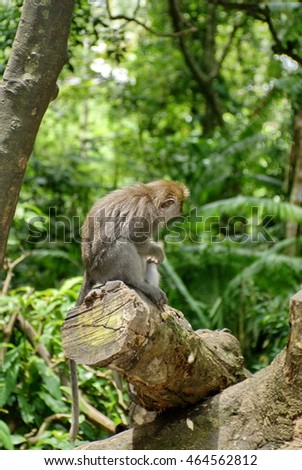 Crab-eating macaque (Macaca fascicularis) in the Ubud Monkey Forest, Bali, Indonesia