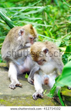 Crab-eating macaques (Macaca fascicularis) groom each other on a wall in the Sacred Monkey Forest Sanctuary, in Ubud, Bali, Indonesia