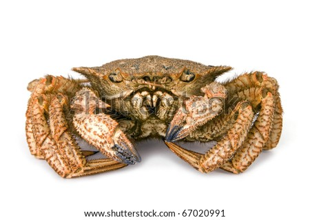 Crab hairy Far East on  white background - stock photo