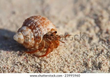 crab in a shall crawfish crayfish on beach sand, super macro, shallow DOF - stock photo