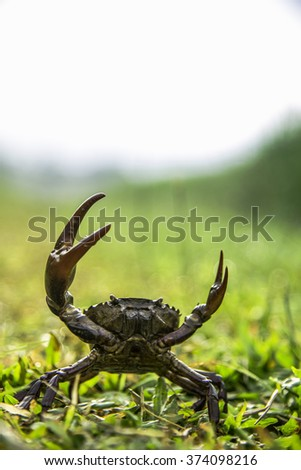 crab on green field ,Thailand