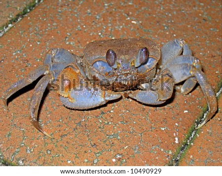 Crab on pavement, Green island, Australia - stock photo