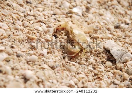 Crab on the sand beach - stock photo