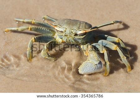 Crab on the shores of Bazaruto Island, Mozambique. - stock photo