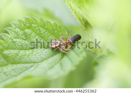 Crab spider with prey - soldier beetle - stock photo
