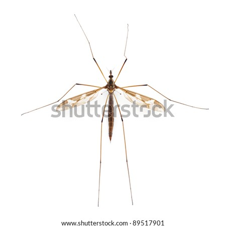 Crane fly or daddy long-legs, Tipula maxima, in front of white background - stock photo