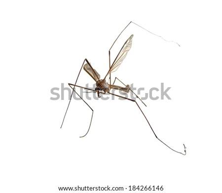 Crane fly, Tipula maxima, on a white background  - stock photo