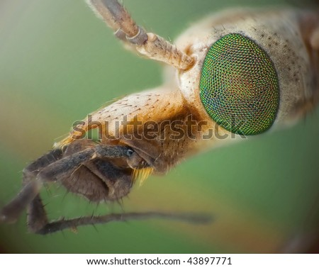 Cranefly closeup - stock photo