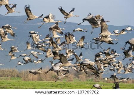 Cranes, flight, valley, Hula, Israel - stock photo