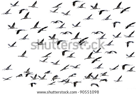 Cranes flying on the white background