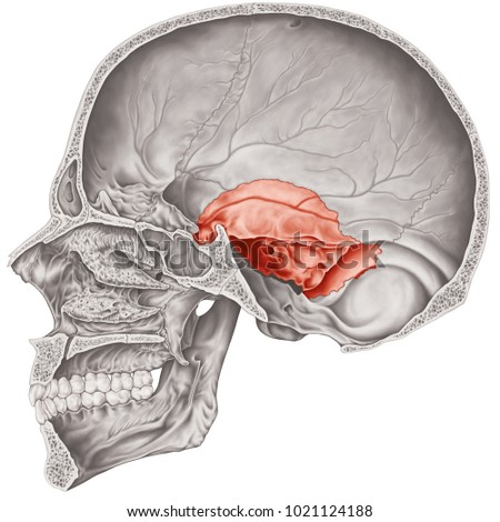 Cranial Cavity Temporal Bone Cranium Bones Stock Illustration ...