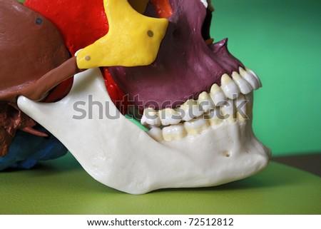 cranium model - stock photo