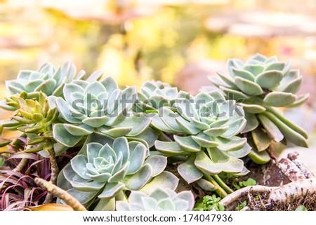 Crasulaceae Houseleek Plant - stock photo