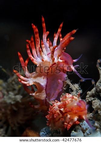 Cratena sp. nudi branch, a kind of sea slug - stock photo