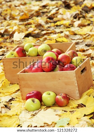crates of fresh ripe apples in garden on autumn leaves
