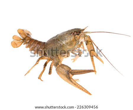 Crawfish in fighting pose - stock photo