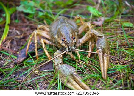Crawfish on a grass - stock photo
