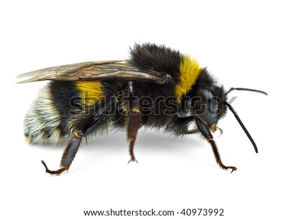 Crawling bumblebee isolated on the white background - stock photo