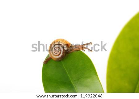 Crawling Snail - stock photo