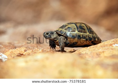 Crawling tortoise on the blurred background - stock photo