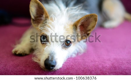 Crazy and Cute Looking Wire Haired Dachshund Sleeping on Purple Sofa - stock photo