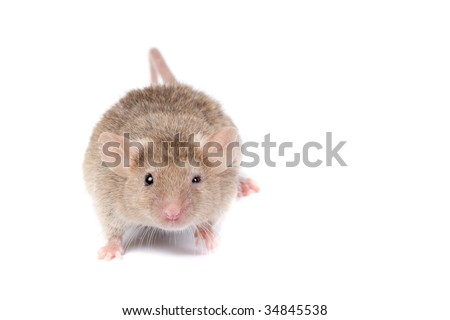 Crazy mouse looking on YOU!Isolated on white. - stock photo