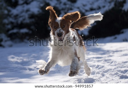 Crazy young springing welsh springer spaniel - stock photo
