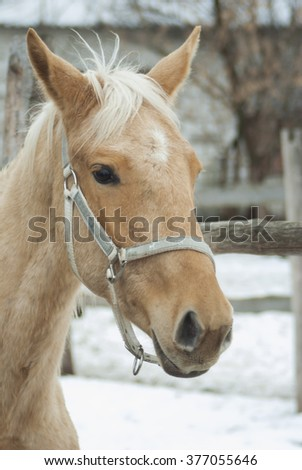 cream-colored horse with a white blaze on the head in the halter