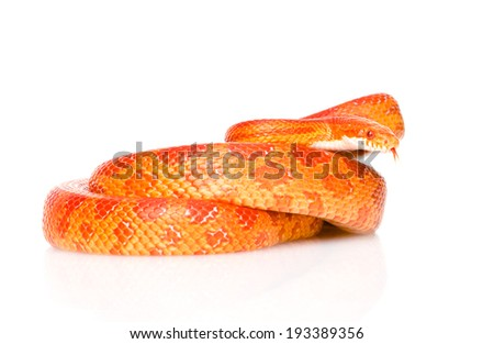 Creamsicle Corn Snake (Elaphe guttata guttata). isolated on white background - stock photo