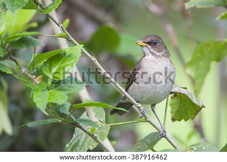 Creamy-bellied Thrush (Turdus amaurochalinus) sitting on a branch in garden, Itanhaem, Brazil