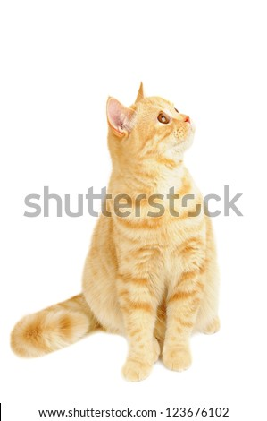 Creamy tabby scottish straight shorthair six months cat isolated on white - stock photo