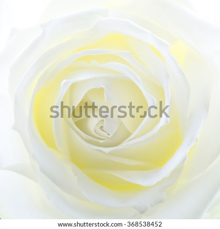 Creamy white rose, closeup, square format - stock photo