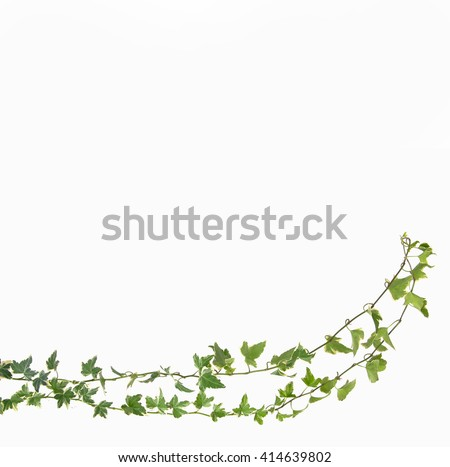 Creeper Ivy stem with young green leaves - stock photo