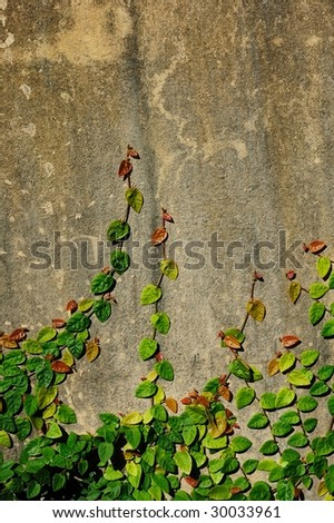 Creeper on wall with texture. - stock photo