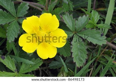 Creeping Cinquefoil - Potentilla reptans Single flower and leaves - stock photo