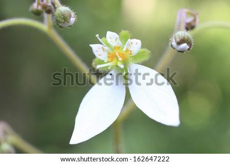 Creeping saxifrage - stock photo